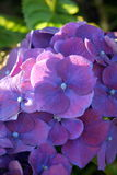 Garden: purple hydrangea flower Royalty Free Stock Image
