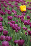 Garden with purple and one yellow flower Stock Photography