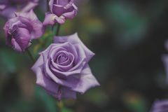 The garden and Purple roses Royalty Free Stock Photo