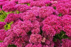 Garden with purple sedum flowers. Royalty Free Stock Photos
