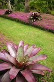 Garden: purple subtropical bromeliads Royalty Free Stock Photos