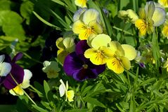 The garden purple and yellow colored flowers. The garden yellow and purple colored flowers Royalty Free Stock Photography