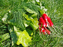 Garden radish. On the grass Royalty Free Stock Images