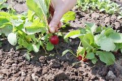 Garden radish Stock Images