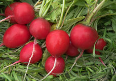 Garden radish Stock Photography