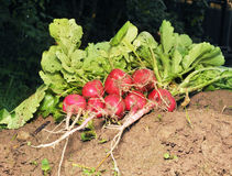 The garden radish on the earth. The garden radish lies on the earth Royalty Free Stock Images