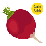 Garden radish in flat style with golden label. Vector illustration. Royalty Free Stock Photo