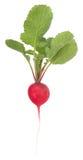 Garden radish Royalty Free Stock Image