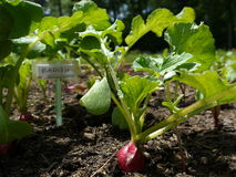Vegetable garden: radish seedlings Royalty Free Stock Image