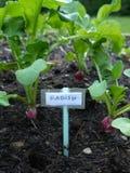 Vegetable garden: radish seedlings v Royalty Free Stock Photos