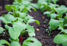Garden radish. In a soil Royalty Free Stock Photography