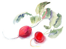 Garden radish, watercolor illustration. Red Garden radish, watercolor illustration Stock Photos