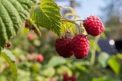 Garden raspberries. On a branch Royalty Free Stock Photos