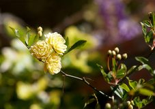 Lady banksiana flowers on greenery Royalty Free Stock Image