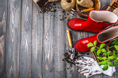 Garden red boot with seedlings tomato ground. In pot glove and tools on old wooden board rustic style. Copyspace royalty free stock images