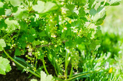 Garden red currant plant royalty free stock photography