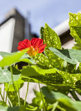 The garden - red flowers against a blue sky. Royalty Free Stock Image