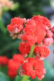 Garden with red flowers. Botanic garden with plants and flowers Royalty Free Stock Photo