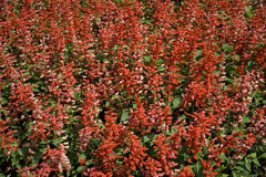 Garden with red flowers Royalty Free Stock Image