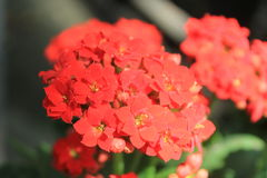Garden with red flowers. View with garden and flowers Royalty Free Stock Photo