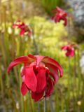 Garden: Red pitcher plant flowers Royalty Free Stock Photo