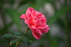 Garden red rose. Garden red rose Hulthemia x Rosa Royalty Free Stock Image