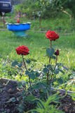 Garden red roses. Beautiful red roses in the green garden Stock Photos