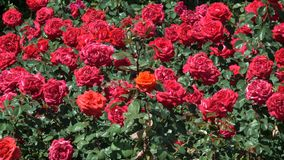 Garden red roses bloom stock video