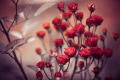 Garden red roses bush Royalty Free Stock Image