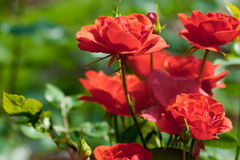 Garden red roses Royalty Free Stock Image