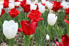 A Garden of Red and White Tulips Royalty Free Stock Images