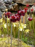 Garden: Red and yellow pitcher plant flowers Stock Images