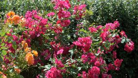 Garden red and yellow roses bloom. Garden red roses bloom in bright sunny and windy summer day video footage floral colorful background close-up stock video footage