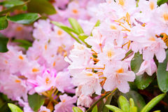 Garden rhododendrons in bloom, springtime Royalty Free Stock Image