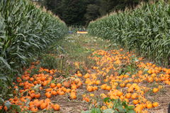 Garden of ripe pumpkins. A garden plot covered with small ornamental pumpkins or gourds, ready for harvesting Royalty Free Stock Image