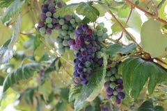 In the garden ripen grapes Stock Photography