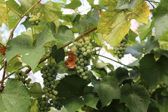 In the garden ripen grapes Royalty Free Stock Images