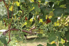 In the garden ripen grapes Royalty Free Stock Photo