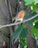 Garden robin Royalty Free Stock Photo