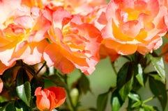garden rose Στοκ Εικόνα