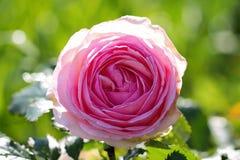 Garden Rose. Big garden Rose flower on sun Stock Photo