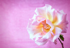 Garden rose. On pink background Royalty Free Stock Photo