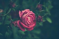 Garden rose background Stock Photo