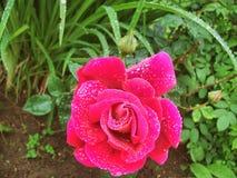 Garden rose. Beautiful garden rose Royalty Free Stock Image