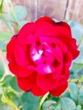 Garden rose Stock Photos