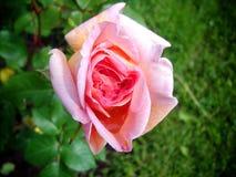 Garden rose. Beautiful rose garden summer day Royalty Free Stock Image
