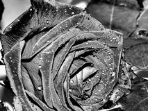 Garden rose on a black and white image Royalty Free Stock Photo