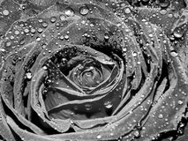 Garden rose on a black and white image Stock Image