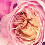 Garden rose. Close up of a pink garden rose Royalty Free Stock Images