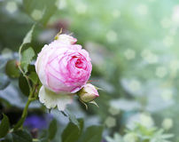 Garden rose.close up Stock Photography